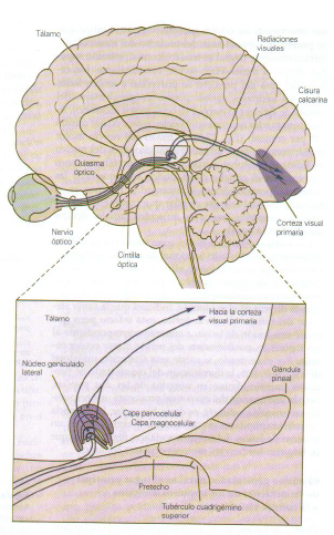 talamo retina 1