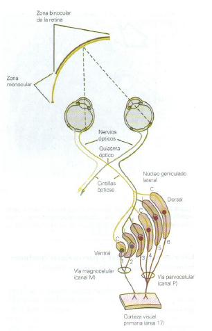 talamo retina 2